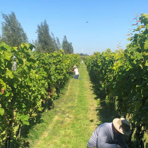 wijngaard pluk